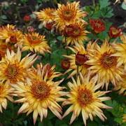 chrysantemum group on My World